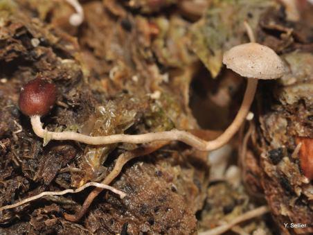 Collybia tuberosa © Y. Sellier