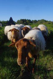 Le troupeau de moutons Solognot © K. Lelarge