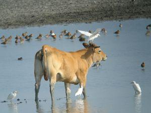 Vache Parthenaise et Hérons gardeboeufs (Bubulcus ibis) © J-C. Croisé