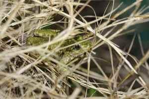 Une espèce curieuse qui tient à la fois des grenouilles par son allure et des crapauds pas sa peau verruqueuse © A. Ballaydier