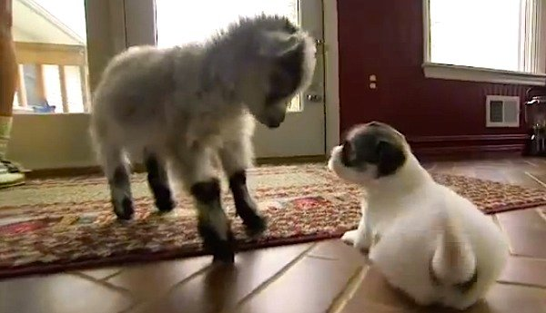 Baby Goat Meets Puppies For The First Time And Does The