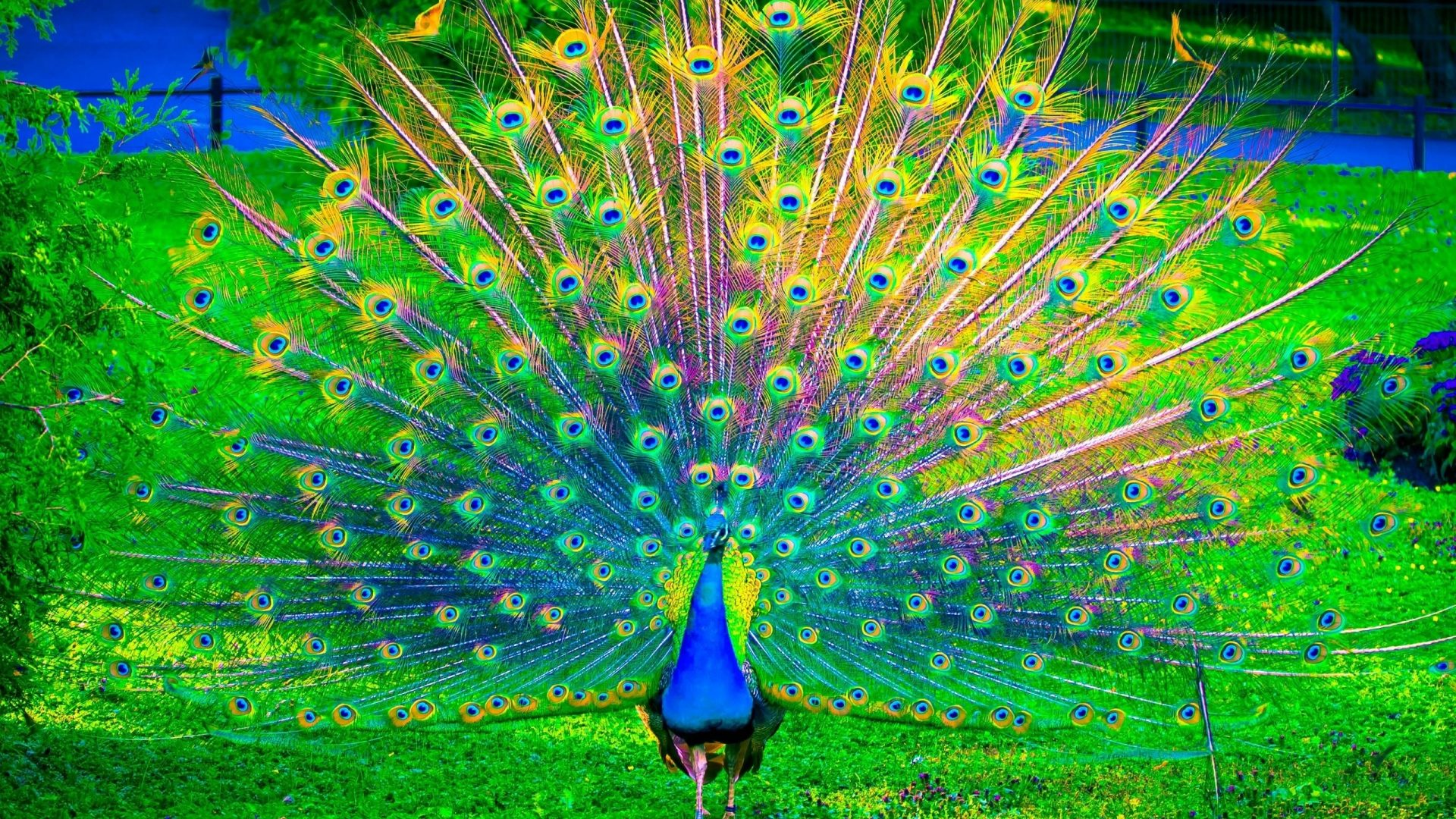 peacock colorful bird birds