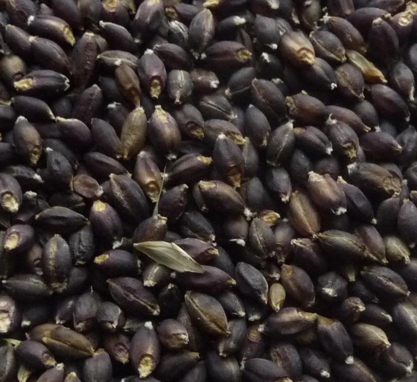 Barley - Purple Six Row (Certified Organic)
