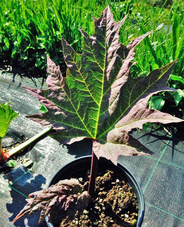 Rheum palmatum, Rabarbaro cinese