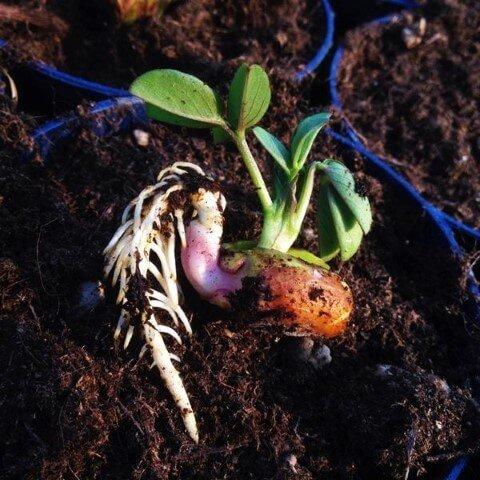 Arachidi, Nocciolina americana, spagnoletta
