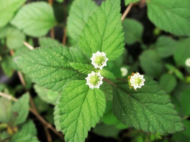 La pianta dolcificante più potente dello zucchero