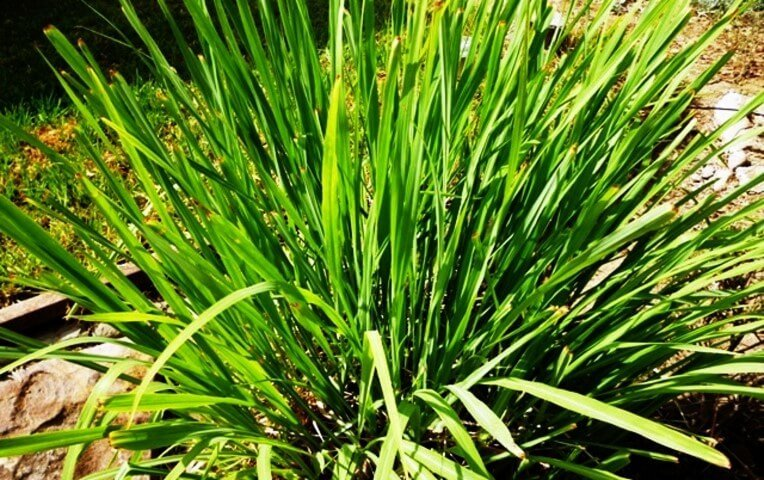 lemon grass Res Naturae Lecco