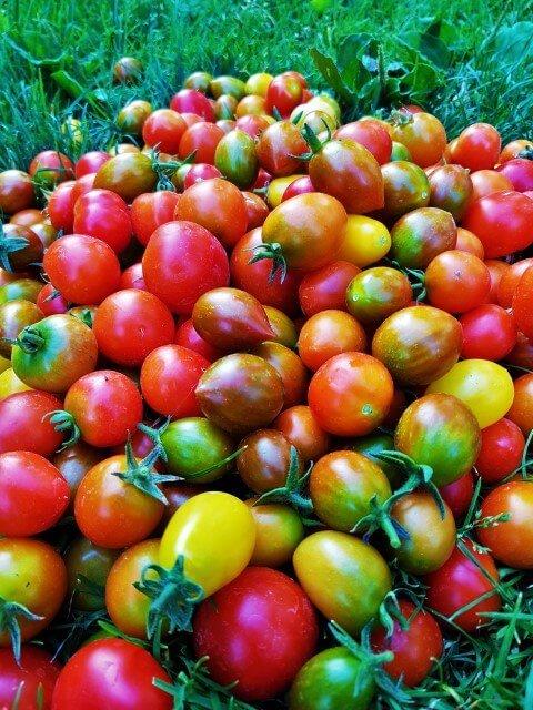 Pomodoro, Solanum lycopersicum
