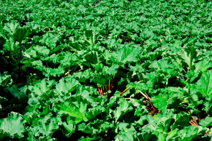 Campo di Rabarbaro foglie e gambi