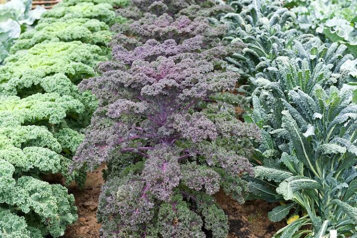 piante Cavolo kale Redbor