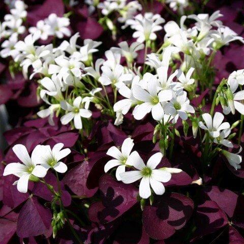 Oxalis xalisa, Acetosella rossa