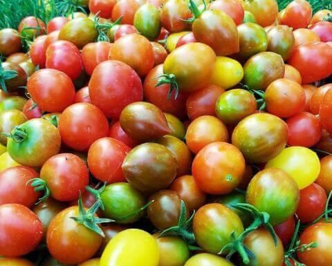 Qual è la migliore varietà per l'insalata di pomodori?