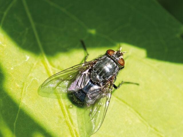 piante Anti mosche