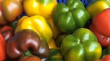 Capsicum annuum, Peperone e peperonici
