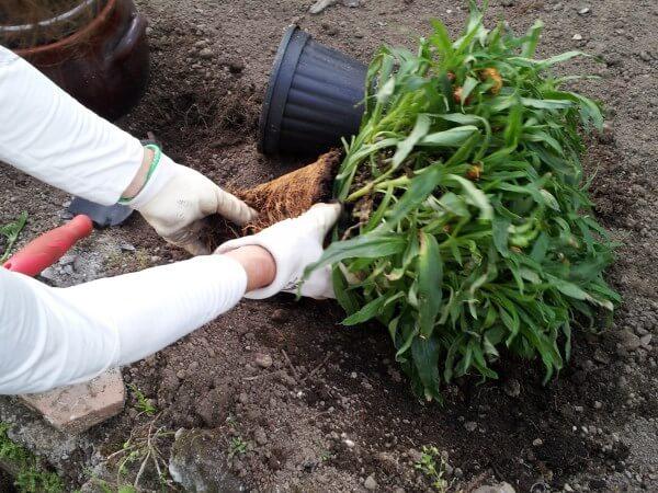 rinvasare pianta