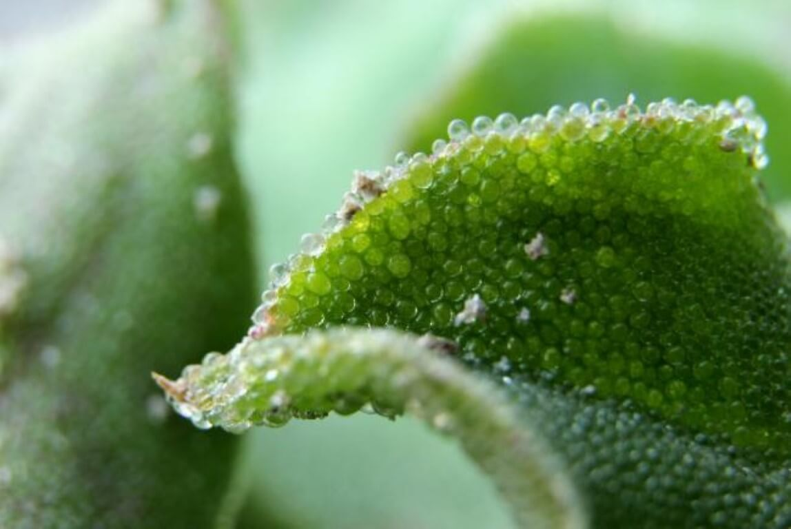 Erba cristallina o Mesembryanthemum crystallinum