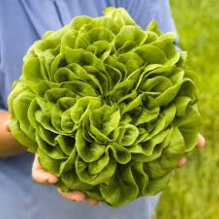 Lattuga Salanova (verde, rossa, riccia)