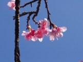 1/21 名護城公園頂上付近の開花状況⑥