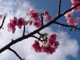 1/28 名護城公園「さくら園」付近の開花状況②