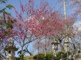 名護城跡周辺の寒緋桜②(過去に撮影)