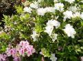 ツツジの花⑥