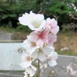 クメノ桜②