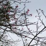 「ウーマク広場」付近の開花状況②(2016年1月26日)
