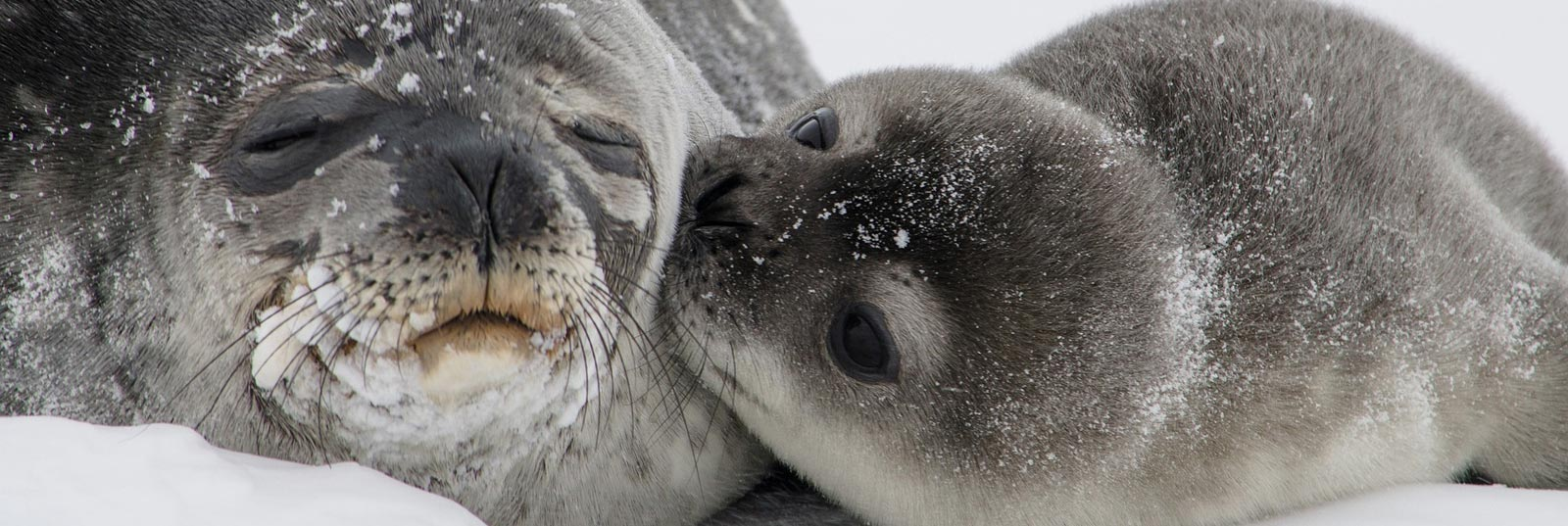 seal hunt debate A bit of nonsense from all sides of the great seal hunt debate april 25 the seal hunt is a stain on newfoundland.