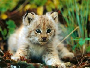 Bobcat  16-22