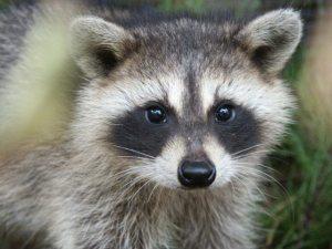 Raccoon  30-40