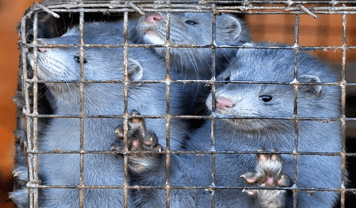 Not a single mink left in Estonian fur farms