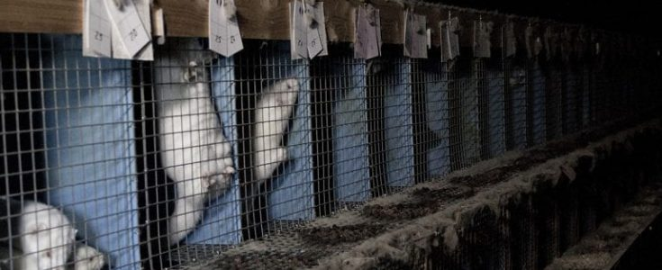 Thousands of fur farmed mink culled in Holland after coronavirus outbreak