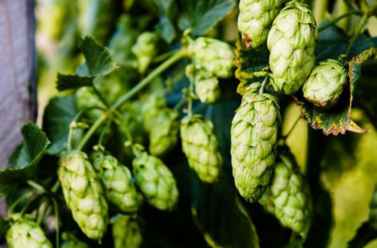 ImmunAG Contains CBD Derived From Humulus - Aka The Hop Plant