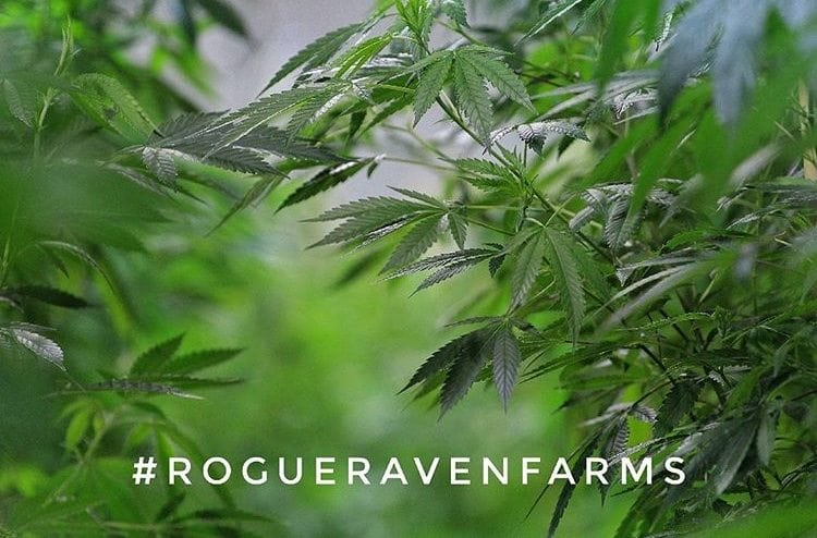 RMR's Official Review of White Widow from Rogue Raven Farms | Cannabis Strain Review