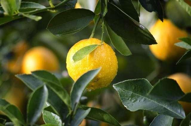 Lemon OG Cannabis Review (Ft. Top Shelf)