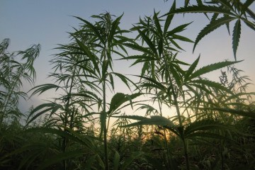 Humboldt County Cannabis Farmers Struggle to Make Ends Meet in California's Oversaturated Market