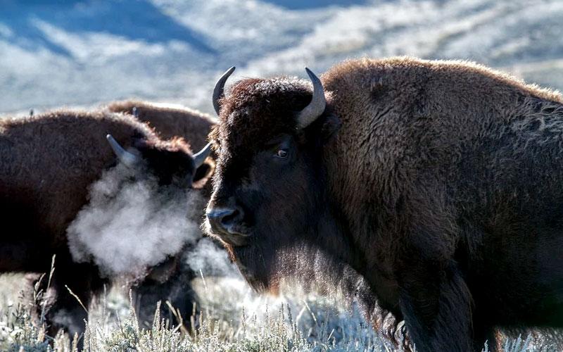 Cemex, AES México y FMCN completan exitosamente reintroducción del bisonte  americano