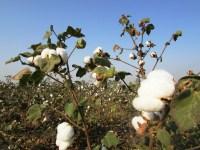 cotton-crop-265312_1920