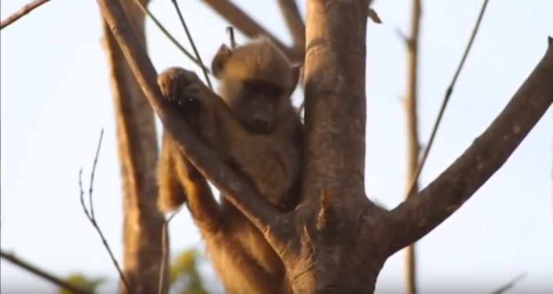Young Monkey in a tree