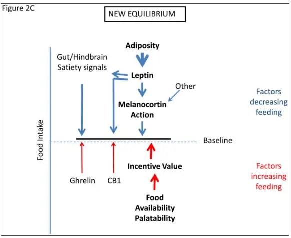 how leptin resistance develops