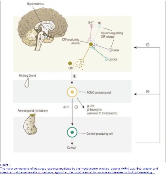 Glandulars that contain cortisol can suppress the HPA axis