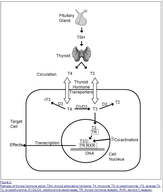 Thyroid anatomy and thyroid conversion from pituitary to T3 and T4 action at the cellular level