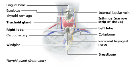 front view of the thyroid and surrounding anatomy