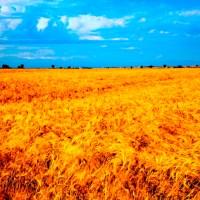La foto nel campo di grano: l'ultimo trend pugliese impazza sui social