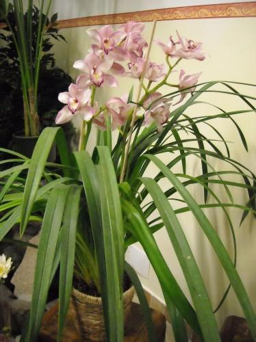 Pianta di orchidea Cymbidium  Gaeta