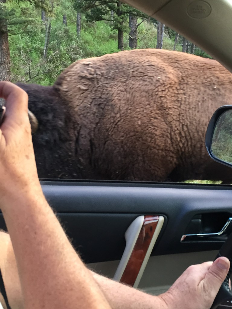 This buffalo is close!