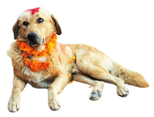 Blond dog with marigold garland and red tika for Kukur Tihar in Nepal. His name is Ralphie.