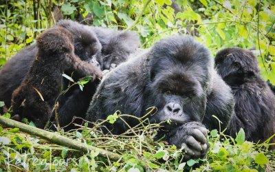 2021 Rwanda Gorilla & Chimpanzee photos
