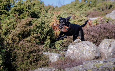 Two new online courses: Marked retrieves and intermediate gundog training!
