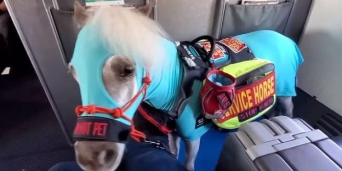 woman brings mini service horse onto plane